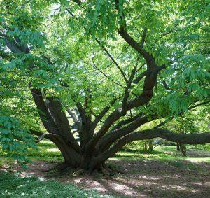 درخت چوب راش چینی