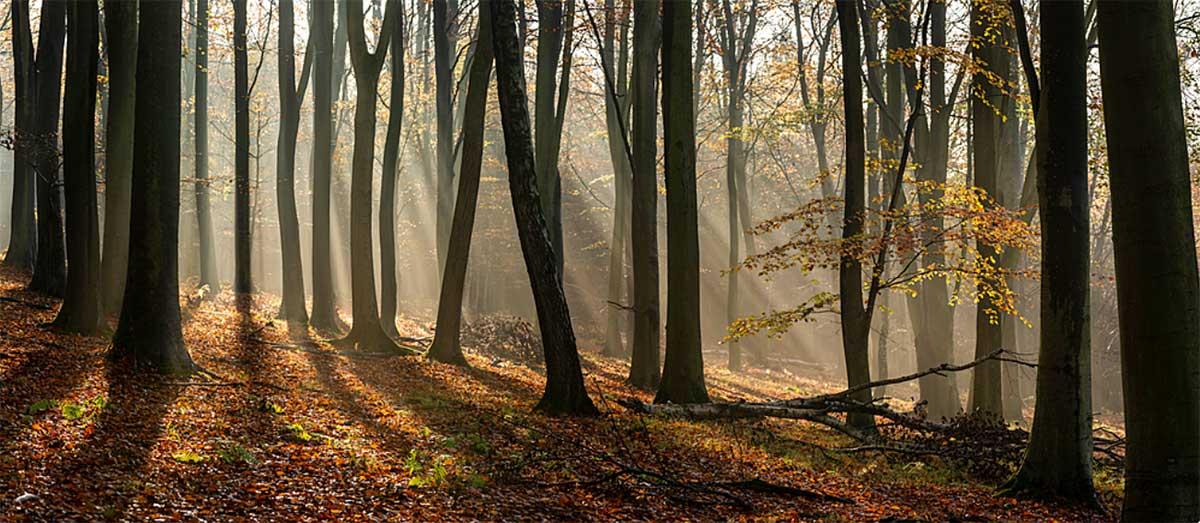 جنگل جوان چوب راش گرجستان