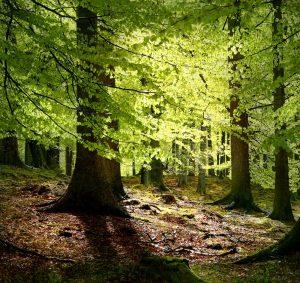 گونه دانمارکی درخت راش