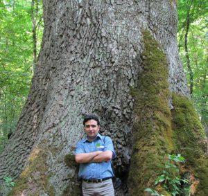 درخت راش ایرانی