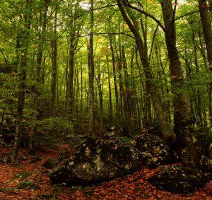 درخت راش اروپایی یونانی